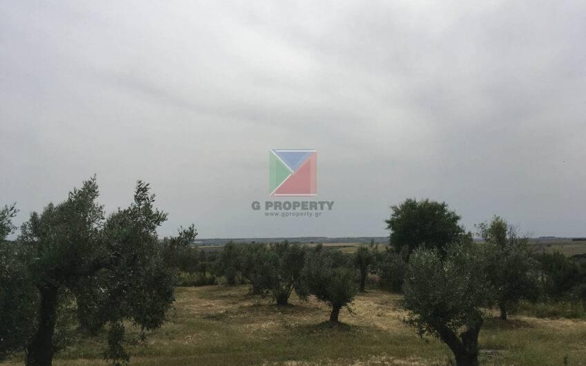 Plot 2200 m2 – 50 olive trees