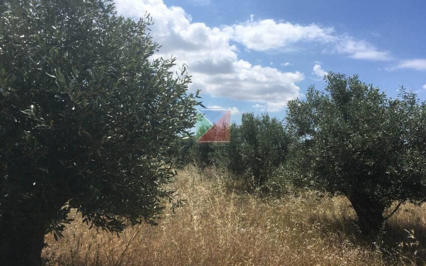 Parcel >300 olive trees